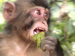 Macaques (2008)