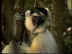 Sifakas of Madagascar (1997)