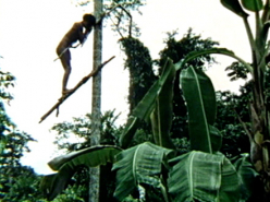 Climbing the Peach Palm (1974)